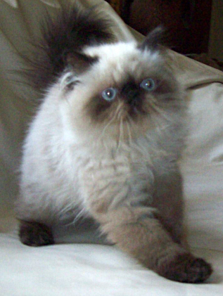 jolor kittens, adults for sale and past kittens